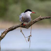 Flussseeschwalbe, Feldberg-MeckPom - Foto: Pertti Raunto