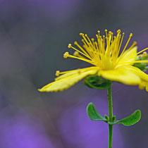 Blüte in der Neru Wulmstorfer Heide - Foto: Borg Enders