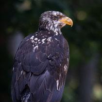 Adler - Foto: Holger Tobuschat