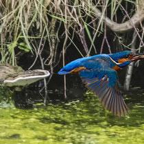 Eisvogel mit Fisch - Foto: Adolf Dobslaff