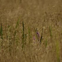 Gras, Moorburger Hinterdeich - Foto: Dagmar Esfandiari