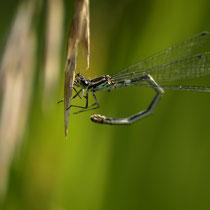 Libelle, Untenburger Querweg - Foto: Dagmar Esfandiari