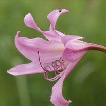 Lilie, Arboretum - Foto: Gesine Schwerdtfeger