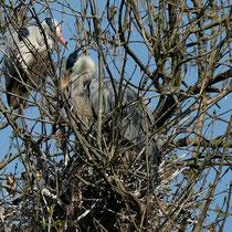 Graureiher im Nest am Bramfelder See -  Foto: Romana Thurz