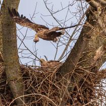 Brütendes Adlerpaar - Foto: Adolf Dobslaff