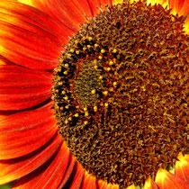 03 Sonnenblume - Foto: Willi Heinsohn