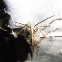 Ägyptische Heuschrecke   -   Foto:   Gesine Schwerdtfeger
