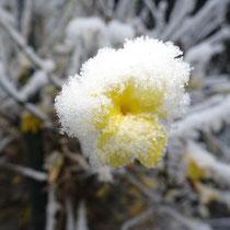 27 Winterjasmin - Foto: Gesine Schwerdtfeger