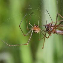 Spinne mit Beute, Neuwiedenthal - Foto: Uta Svensson