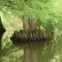 Die eindrucksvollen Atemknie der Sympfzypressen, Arboretum - Foto: Gesine Schwerdtfeger