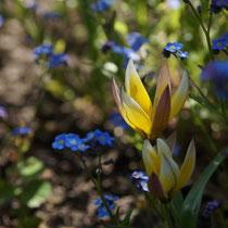 017 Botanische Tulpe   -   Mai_16 - Foto: Willi Heinsohn