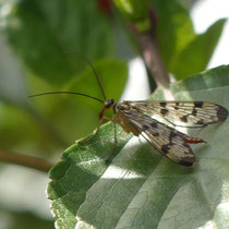 Skorpionsfliege (w), Arboretum - Foto: Gesine Schwerdtfeger