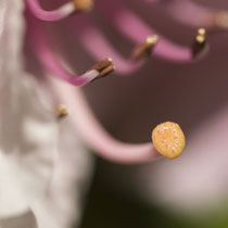 Blütenstempel - Foto: Janine Brauneis