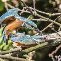 Kopulierende Eisvögel - Foto: Lothar Boje