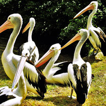 Pelikan-Meeting, Vogelpark Walsrode - Foto: Lothar Boje