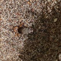 Ameisenlöwe mit Beute, Neuwiedenthal - Foto: Uta Svensson