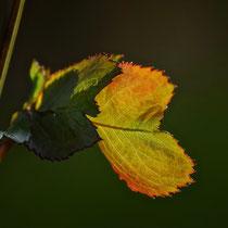 12 Herbstblatt - Foto: Michael Wohl-Iffland