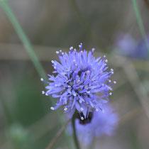 Blüte, Fischbeker Heide - Foto: Volker Svensson