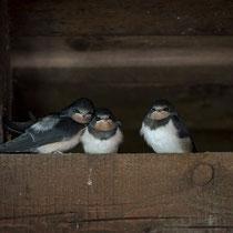 Jungschwalben - Foto: Holger Tobuschat