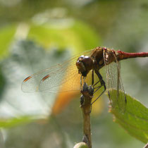 Gemeine Heidelibelle mit Fang - Foto: Gesine Schwerdtfeger