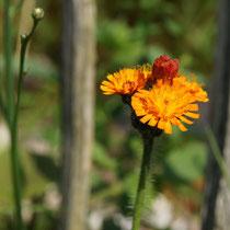 036 Orange-rotes Habichtskraut   -   Juni_16 - Foto: Willi Heinsohn