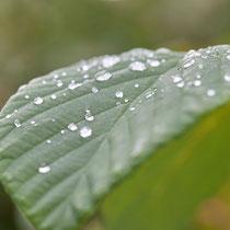 Blatt mit Wassertropfen, Arboretum - Foto: Pertti Raunto