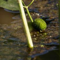 Wasserpflanze, Moorburger Hinterdeich - Foto: Dagmar Esfandiari
