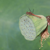Libelle auf Frucht einer Lotus, Arboretum - Foto: Pertti Raunto