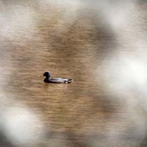 Eingerahmte Ente, Kreetortteich - Foto: Volker Svensson