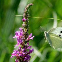 Schmetterling - Foto: Hans Dieckmeyer