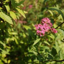 085 Spiere, Gartenskabiose (Hybride)   -   Aug_16