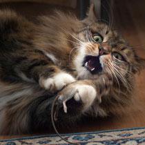 Katze, Maiyun - Foto: Dagmar Esfandiari