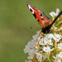 Tagpfauenauge an Flieder, Garten in Fischbek - Foto: Borg Enders
