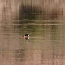 Maccoa Duck, Eritrea - Foto: Gesine Schwerdtfeger
