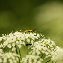 002 Kleinschmetterling Nemophora degeerella auf Doldenblüte   -   2016_06_07_Moor_Dagmar_Esfandiari