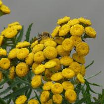 Seidenbiene auf Rainfarn - Foto: Gesine Schwerdtfeger