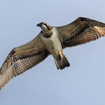 Fischadler - Foto: Adolf Dobslaff