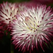 26 Marmelblume - Foto: Dagmar Esfandiari
