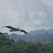 Costa Rica, Braunpelikan