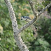 Costa Rica, Weißkehl-Elsterhäher