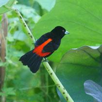 Costa Rica, Rotbürzel-Tangere (Männchen)