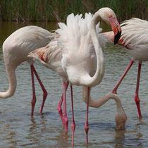 Frankreich, Flamingo