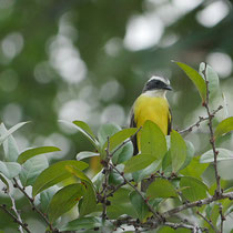 Costa Rica, Schwefelmaskentyrann
