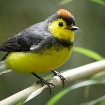 Costa Rica, Halsband-Waldsänger