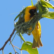 Maskenweber beim Nestbau (Männchen)