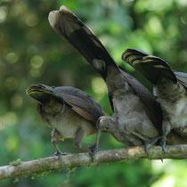 Costa Rica, Braunflügelguan