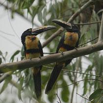 Costa Rica, Halsbandarassari