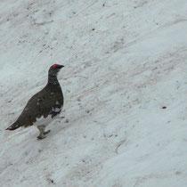Österreich, Schneehuhn im Sommerkleid (Männchen)