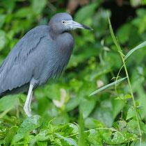 Costa Rica, Blaureiher