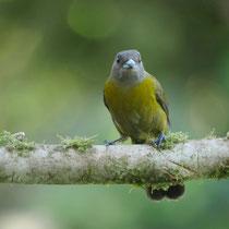 Costa Rica, Rotbürzel-Tangere (Weibchen)